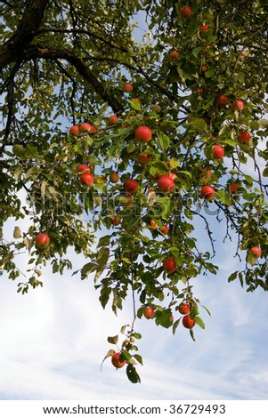 The bunch of ripe red apples