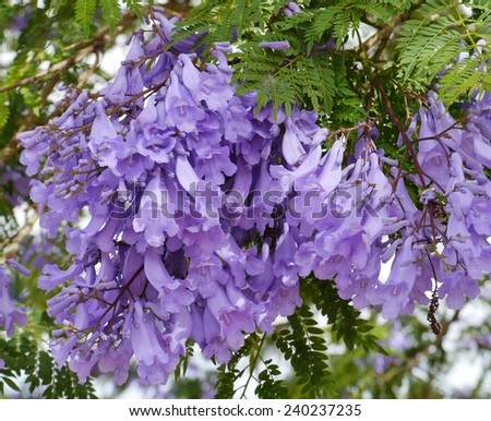 The burst of colour of the Jacaranda tree in spring - stock photo