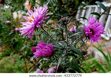 The bush of pink asters with unopened buds - stock photo