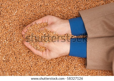 The businessman holds the grain for evaluating quality of the crop wheat