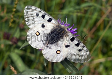 The butterfly Apollo on a flower - stock photo