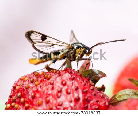 The butterfly collects nectar. Sphingidae. - stock photo