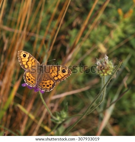 The butterfly Wall Brown (Lasiommata megera) on the flower. - stock photo