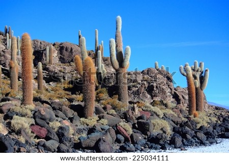 the cacti on the Isla Incahuasi, Bolivia - stock photo