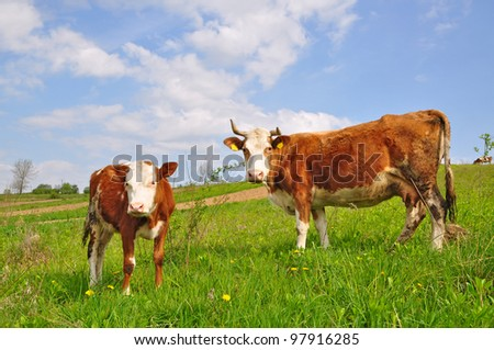 The calf near mother on a summer pasture
