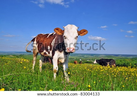 The calf on a summer pasture. - stock photo