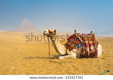 The camel is the great addition to the desert landscape of Giza, Egypt. - stock photo