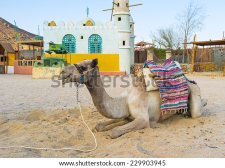 The camel rests on the sand in Bedouin village after the hard day, Sahara, Egypt. - stock photo