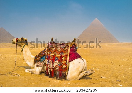 The camel sits on the sand with the Pyramids on background, Egypt. - stock photo