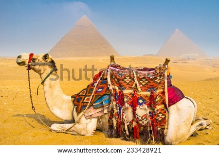 The camel will be the best guide in Giza Necropolis, every day it carries hundreds of tourists here, Egypt. - stock photo