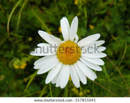 The Camomile flowers. Blossoming of angiospermous plants. - stock photo