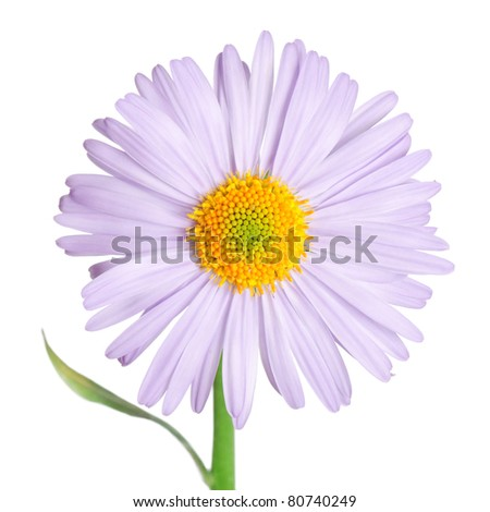 The camomiles flower isolated on white background - stock photo