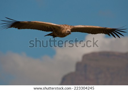 The Cape Griffon or Cape Vulture (Gyps coprotheres) at Giants Castle Nature Reserve in South Africa - stock photo