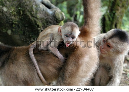 The capuchins are the group of New World monkeys classified as genus Cebus. The range of the capuchin monkeys includes Central America and South America as far south to northern Argentina. - stock photo