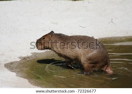 The Capybara (capibara) - stock photo