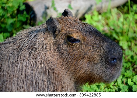 The capybara is a large rodent of the genus Hydrochoerus of which the only other extant member is the lesser capybara (Hydrochoerus isthmius). The capybara is the largest rodent in the world - stock photo