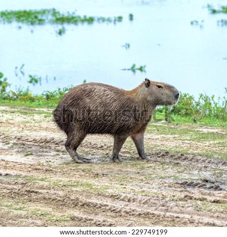 The capybara on the road in the El Cedral - Los Llanos, Venezuela, Latin America - stock photo