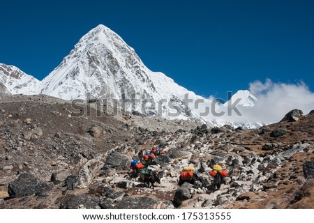 The caravan of yaks carrying heavy loads from Mount Everest base camp in the Himalayas, Nepal. - stock photo