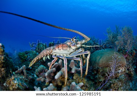 The Caribbean Spiny lobster (Panulirus argus) inhabits tropical and subtropical waters of the Atlantic Ocean, Caribbean Sea, and Gulf of Mexico.  It is normally a nocturnal species. - stock photo
