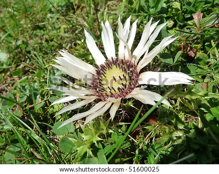 The carline thistle in the alps is beautiful but prickly - stock photo