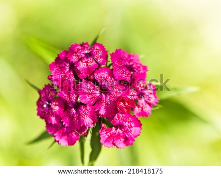 the Carnation (Pinks) - stock photo