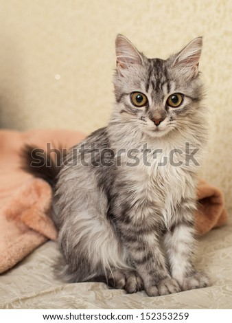 The cat a chinchilla with big beautiful eyes lies on a bed. - stock photo
