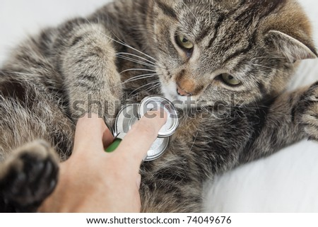 The cat in vet's for a health check. - stock photo