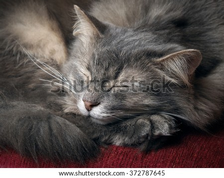 The cat is sleeping. Portrait of a sleeping cat largly. Cat resting. Cat gray, fluffy - stock photo