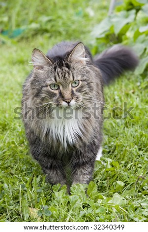 The cat is walking on the grass. The cat is looking fixedly at the camera. - stock photo