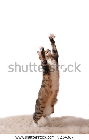 The cat jumps upwards on a white carpet - stock photo