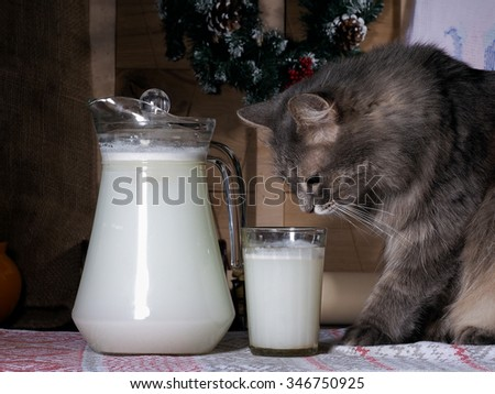 The cat looks at a glass of milk. Nearby stands a jug of milk drink. Muzzle cat largly. Cat brazen thief. The cat likes milk. Background wood planks, you can see the tree. Grey Cat - stock photo