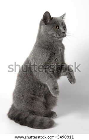 The cat of breed of scottish-straight - stock photo