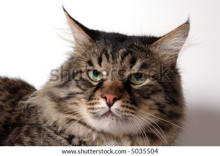 The cat of breed of siberian - stock photo