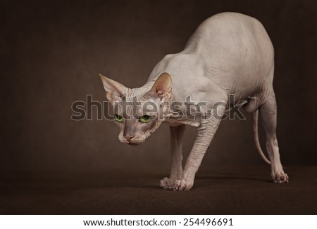 The cat of Don Sphinx breed. Studio shot - stock photo