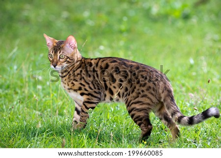 The cat runs on a lawn - stock photo