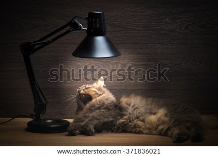 The cat yawns. The cat is on the table under the electric lamps, table lamps. The cat is warm and cozy. Cat large, gray. Rest cat