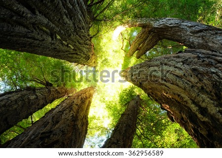 The Cathedral Tree, Prairie Creek, Redwood National Park, California - stock photo