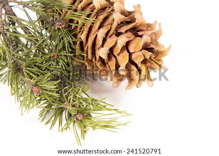 The cedar cone with a branch. The mature cedar cone with seeds and a green branch of needles. The isolated image.  - stock photo