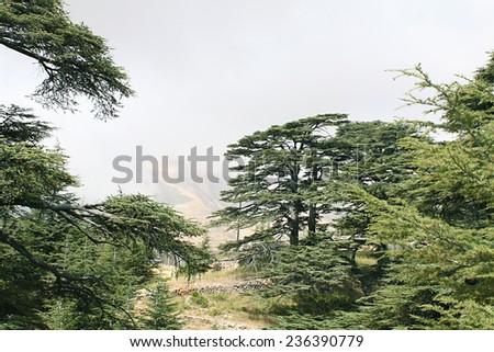 The cedar forest in Lebanon in the fog.  - stock photo