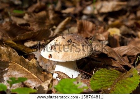 The cep in the autumn forest. ?ep mushroom in the forest clearing. Fall is mushroom time. Cep in the dry autumn leaves/The cep