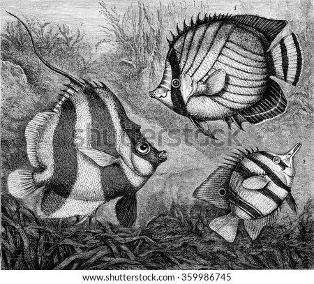 The Chaetodons, vintage engraved illustration. Magasin Pittoresque 1873. - stock photo