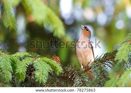 The Chaffinch (Fringilla coelebs) - stock photo