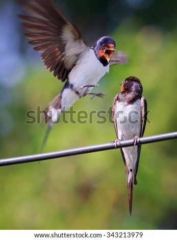 the chances of two swallows on a wire in the summer - stock photo