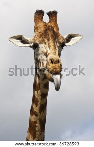 The cheeky giraffe sticking its tongue out