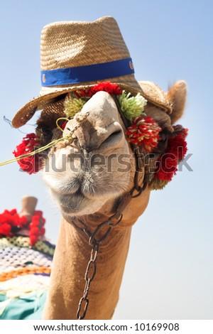 The Cheerful camel on the dark blue sky - stock photo