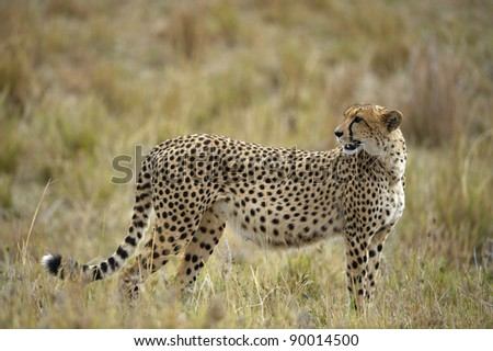 The cheetah (Acinonyx jubatus) costs against a yellow grass - stock photo