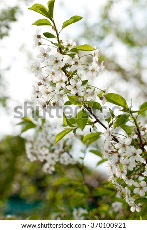 The cherry blossoms. A branch of plum flowers. Blooming plum. the Sakura. spring garden - stock photo
