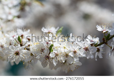 The cherry blossoms in early May. Cherry garden bloomed white flowers. - stock photo