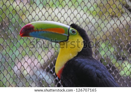 The Chestnut-mandibled Toucan, or Swainson�s Toucan (Ramphastos ambiguus swainsonii) - stock photo