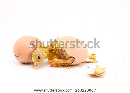 The chicks were hatched from an egg. - stock photo